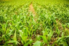 Rangées de jeune maïs s'élevant sur un champ Photo stock