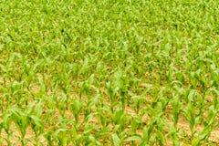 Rangées de jeune maïs s'élevant sur un champ Image libre de droits