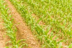Rangées de jeune maïs s'élevant sur un champ Images libres de droits