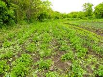 Rangées de jeunes plantes de pomme de terre sur le champ photos stock