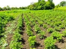 Rangées de jeunes plantes de pomme de terre sur le champ photographie stock libre de droits