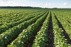 Rangées de jeunes usines de soja photo libre de droits