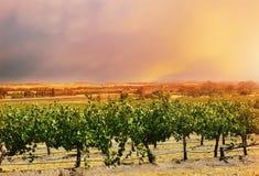 Rangées de la vallée Barossa des vignes Images stock