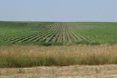 Rangées de maïs du Nébraska Photos stock