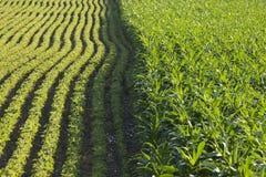 Rangées de maïs et de soja à la lumière du soleil d'après-midi photographie stock libre de droits