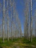 Rangées de perspective des arbres photo stock