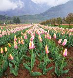 Rangées de tulipe dans le jardin de tulipe image stock