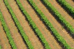 Rangées de vignoble vert dans le chianti image stock