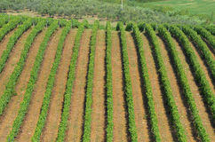 Rangées de vignoble vert dans le chianti image libre de droits