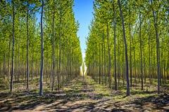 Rangées des arbres à une ferme d'arbre de l'Orégon Images libres de droits