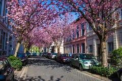 Rangées des arbres de fleurs de cerisier Images libres de droits