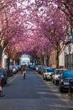 Rangées des arbres de fleurs de cerisier Images stock
