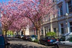 Rangées des arbres de fleurs de cerisier sur Heerstrasse à Bonn Photographie stock libre de droits