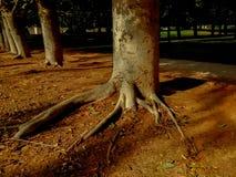 Rangées des arbres en parc avec des racines collant hors de la terre Image stock