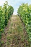 Rangées des buissons de raisin Photo libre de droits