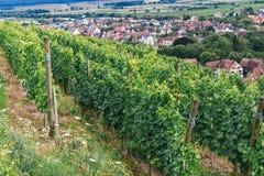 Rangées des buissons de raisin Photographie stock