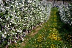 Rangées des cerisiers fleurissants Images stock