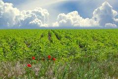 Rangées des cultures sur un champ vert Photo libre de droits