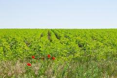 Rangées des cultures sur un champ vert Image libre de droits