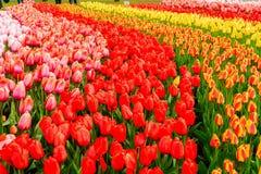 Rangées des fleurs de tulipe Photographie stock libre de droits