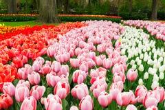 Rangées des fleurs de tulipe Image libre de droits