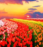Rangées des fleurs de tulipe Photographie stock