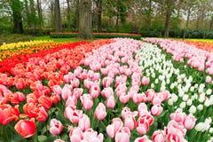 Rangées des fleurs de tulipe Image stock