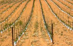 Rangées des jeunes plantes de raisin Image stock