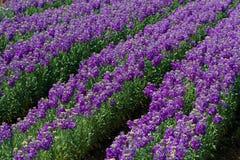 Rangées des mufliers fleurissant dans un domaine Photos stock