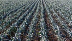 Rangées des oignons s'élevant sur un champ Images libres de droits