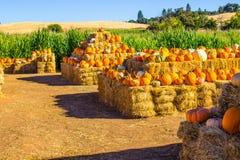 Rangées des potirons et de la courge pour Halloween Image stock