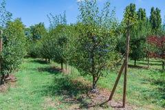 Rangées des pruniers avec les prunes bleues photo libre de droits