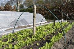Rangées des radis et de la laitue. Photo libre de droits