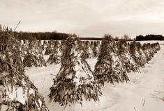 Rangées des tiges moyettées de maïs âgées dans des couleurs de sépia image libre de droits