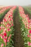 Rangées des tulipes rouges de floraison Photo libre de droits
