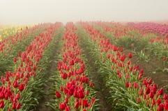 Rangées des tulipes rouges de floraison Photo stock
