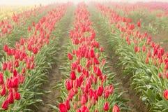 Rangées des tulipes rouges de floraison Photos stock