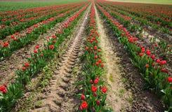 Rangées des tulipes rouges sur Tulip Farm Photographie stock