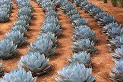 Rangées des usines d'agave d'artichaut Photographie stock libre de droits