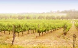 Rangées des vignes au lever de soleil Images libres de droits