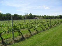 Vignoble du Connecticut Photo stock