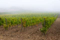 Rangées des vignes au vignoble sous le lever de soleil, Toscane, Italie photos libres de droits