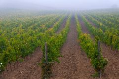 Rangées des vignes au vignoble sous le lever de soleil, Toscane, Italie photographie stock libre de droits