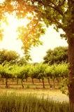 Rangées des vignes avec le soleil par l'arbre Photos stock