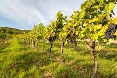 Rangées des vignes dans la lumière chaude Photographie stock libre de droits