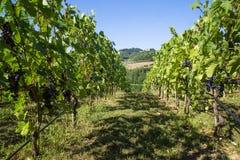 Rangées des vignes sur les collines toscanes du chianti, Italie images libres de droits