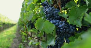 Rangées des vignobles avec des raisins bleus banque de vidéos