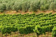 Rangées des vignobles verts avec les oliviers dans la région de chianti pendant la saison d'été tuscany image libre de droits