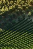 Rangées des vignobles verts avec les oliviers dans la région de chianti pendant la saison d'été tuscany photographie stock libre de droits