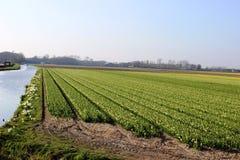 Rangées diagonales des tulipes colorées en rouge et rose dans un paysage avec un gisement de fleur à l'arrière-plan près d'Amster Photo stock